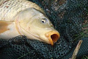 close up of carp in-a net