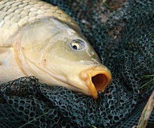 How to carp fish? – Learn the basics