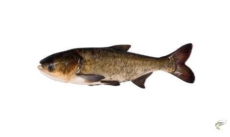 Types of Carp - Bighead Carp