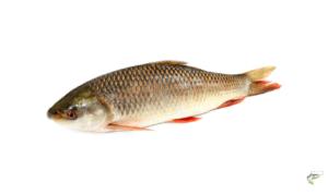 Types of Carp - Rohu Carp