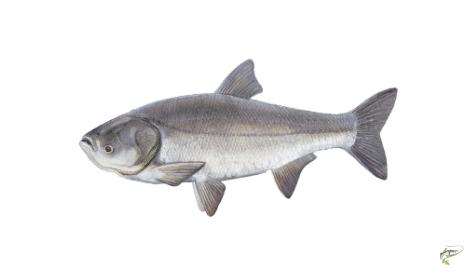 Types of Carp - Silver Carp