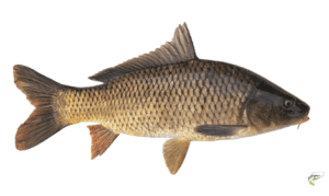 Types of carp - Common Carp on white background