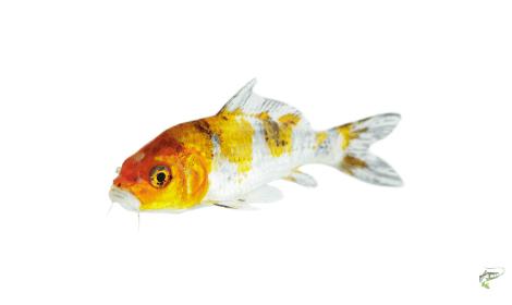Types of carp - Koi Carp