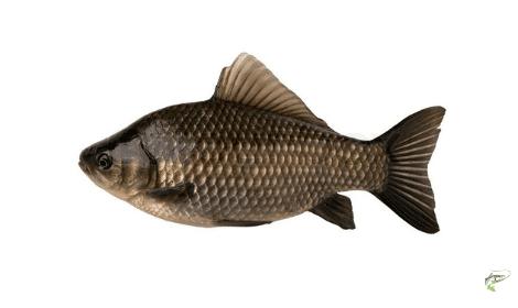 Types of carp - crucian carp