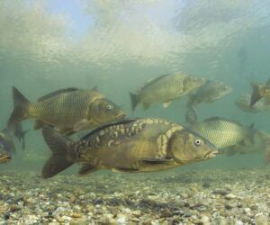 Types of carp –  An in-depth guide into carp species