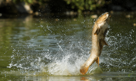 Why do carp jump out of the water - carp jumping