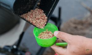 The best bait for carp - Maggots in bait box