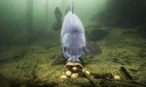 Are carp bottom feeders - carp feeding on boilies on bottom