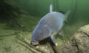 How carp feed - Carp Feeding on Bottom