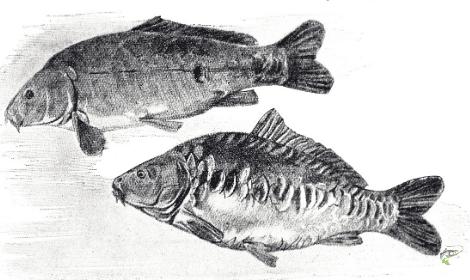 What is Carp Fishing - mirror carp drawing