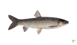 what is carp fishing - Grass Carp