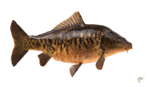 what is carp fishing - Mirror Carp on white background