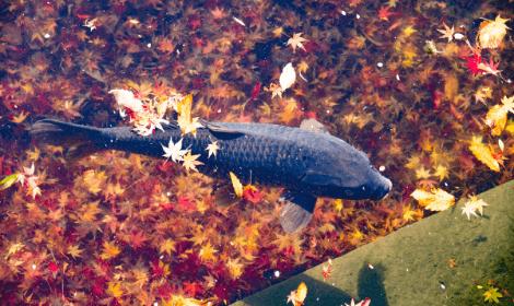 Autumn Carp Fishing Tips - Carp in lake with autumn leaves