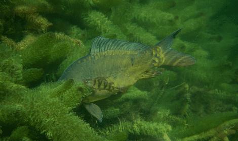 Carp Fishing in weeds - Carp Swimming in Weed