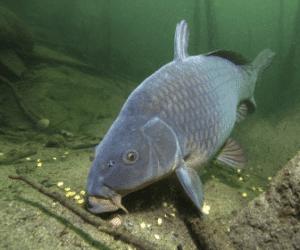 What Do Carp Eat? – Full Explanation