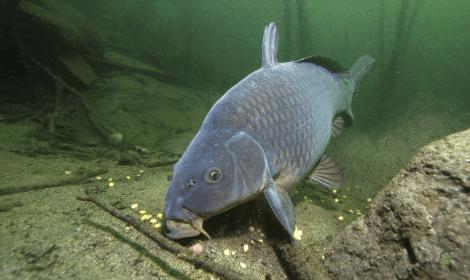 What do carp eat - Carp Feeding on Bottom