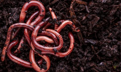 Best bait for carp in winter - worms in soil