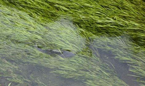 Pre-baiting for carp - Carp swimming in dense weeds