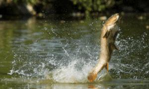 Pre-baiting for carp - carp jumping
