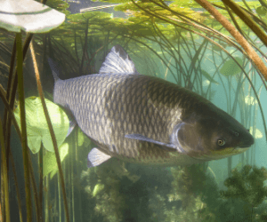 What is a Grass Carp? – Origin, Feeding, Habitat, Spawning & More