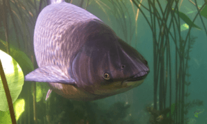 What is a Grass Carp - Grass Carp Swimming Close Up