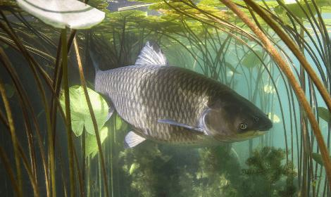 What is a Grass Carp - Grass Carp Swimming