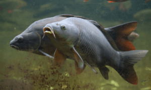 What is a common carp - Two Carp Underwater