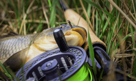 How to Fly fish for carp - carp caught on nymph fly