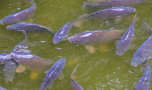 How to Surface fish for carp - group of carp swimming on surface