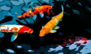 What is a koi carp - koi carp swimming in dark coloured water