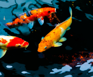 What is a Koi Carp? – History, Breeding and More