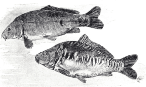 What is a mirror carp - mirror carp drawing