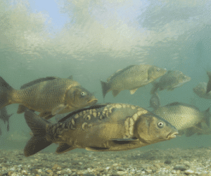 What is a Mirror Carp? – Genetics, History and More