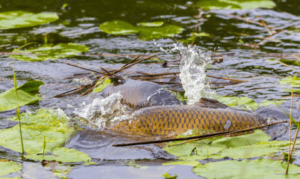 how to fly fish for carp - carp spawning in lily pads