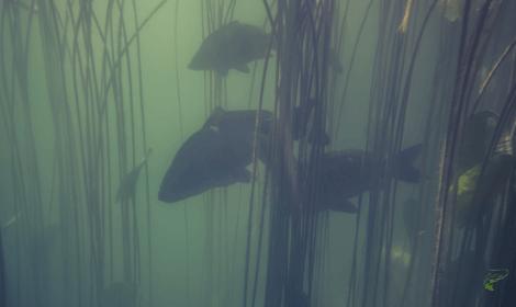 Are Carp Invasive - Carp swimming underwater