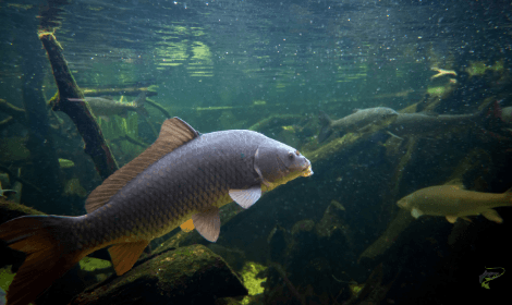 Carp Facts - Common Carp swimming underwater