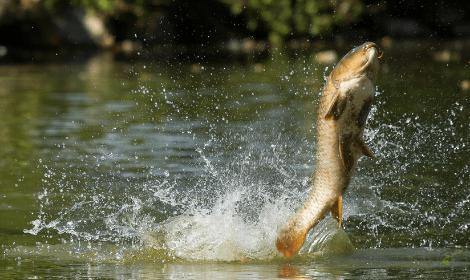 Carp Fishing Tips - carp jumping