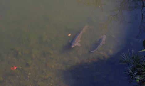 Carp Fishing Tips- carp visible in shallow water