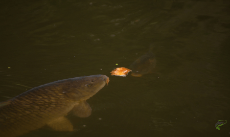 Carp Fishing with Bread - Carp eating bread from surface in murky lake