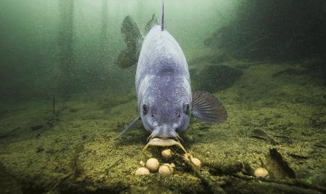 Carp fishing tips- carp feeding on boilies on bottom
