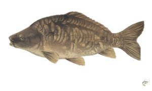 What is match carp fishing - Mirror Carp