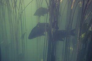 are-carp-invasive-carp-species-swimming-underwater