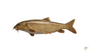 Types of Coarse Fish - Barbel