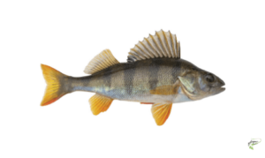 Types of Coarse Fish - Perch