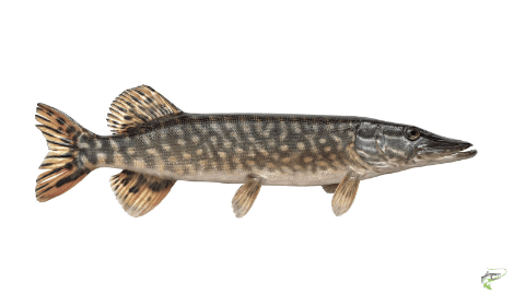 Types of Coarse Fish - Pike