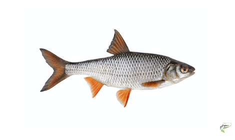 Types of Coarse Fish - Roach