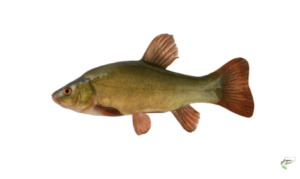 Types of Coarse Fish - Tench