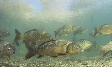types-of-coarse-fish-mirror-carp-and-common-carp-swimming-underwater