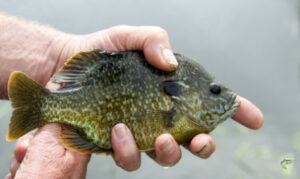 types-of-panfish-bluegill-in-anglers-hands