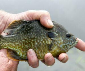 Types of Panfish – Distribution, Habitat, Fishing & More